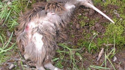 Kiwi dog attack