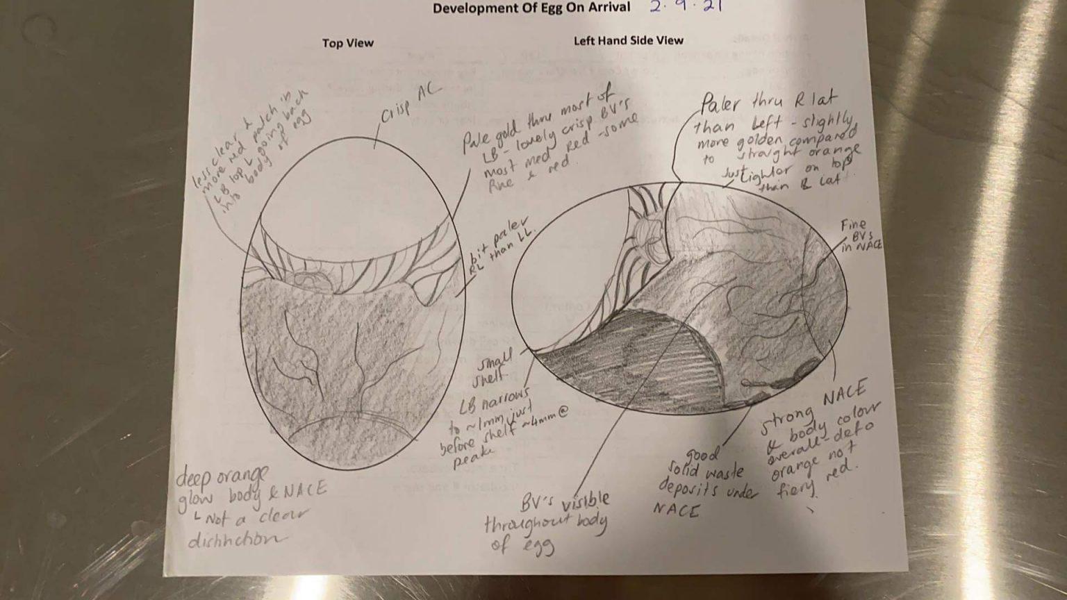 Kiwi egg diagram