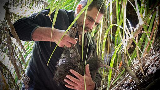 Translocating Kiwi